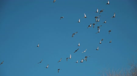 flapping : Flock of Pigeons Flying over the Trees in Spring