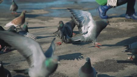 migalhas : Pigeons Eating Bread Crumbs in a Park in Spring