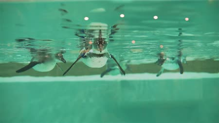 arctic bird : Group of Humboldt Penguins Swimming Underwater in a Pool. Travel Wildlife Concept Stock Footage