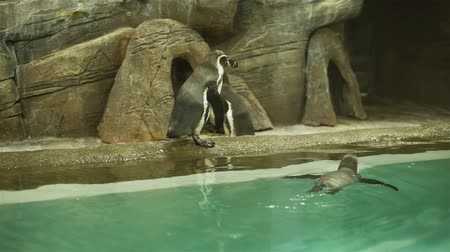 колония : Novosibirsk, Russian Federation - April 23, 2019: Group of Humboldt Penguins Walking on the Rock in Novosibirsk Zoo