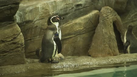 pinguim : Penguin Standing on the Ground near the Pool and Looking Around. Slow Motion. Travel Wildlife Concept