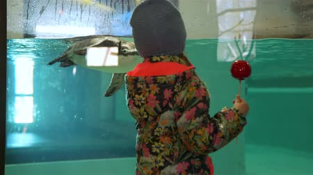 infância : Young Girl Eating Red Caramel Apple and Waving to Swimming Humboldt Penguins near Aquarium. Travel Wildlife Concept