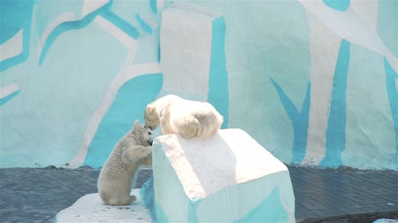 хищник : Novosibirsk, Russian Federation - April 23, 2019: Small White Polar Bear Cubs Playing in the Zoo. Wildlife Concept Стоковые видеозаписи
