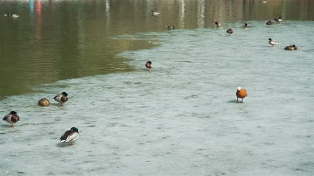 yeşilbaş : Lots of Ducks and Drakes on an Ice in the Middle of Pond in Early Spring. Birds in Nature Stok Video