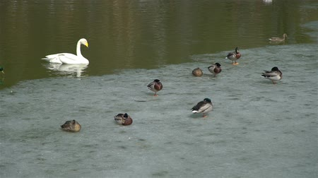buco : White Swan Swimming near the Edge of an Ice with Lots of Ducks. Birds in Natural Environment