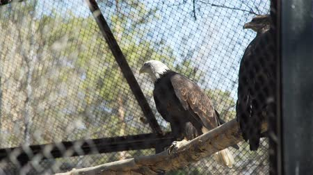 perching : Novosibirsk, Russian Federation - April 23, 2019: Bald Eagles Sitting on a Bench and Looking Around in Novosibirsk Zoo. Wildlife Concept Stock Footage