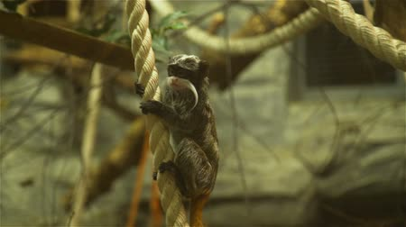 imparator : Emperor Tamarin Hanging on the Rope and Looking Around. Monkey in a Zoo. Wildlife Concept Stok Video