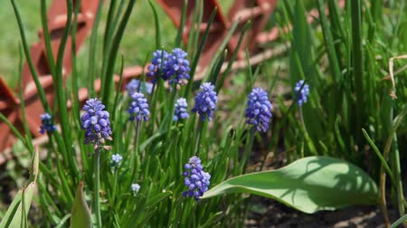 jacinto : Blue Muscari Grows in the Ground. Flowers in the Garden. Muscari Armeniacum. Grape Hyacinths. Slow Motion