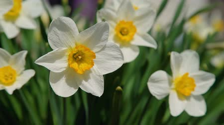 żonkile : Close-Up of White Narcissus Flowers Swaying in the Wind in Slow Motion. Narcissus Flower also Known as Daffodil, Daffadowndilly and Jonquil Wideo