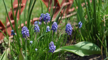 jacinto : Muscari Armeniacum Grape Hyacinth Blooms in Early Spring. Flowers in the Garden
