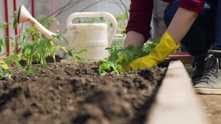 seedlings : Close-Up of Hands of a Young Woman Planting Tomatoes in the Greenhouse. Planting Seedlings in the Garden. Concept of Growing Natural Clean and Organic Food Stock Footage