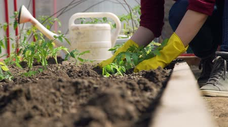 watering can : Hands Planting a Tomato Seedling in Ground in Slow Motion. Young Woman Working in the Greenhouse. Close-Up Shot. Farming, Gardening, Agriculture and People Concept Stock Footage