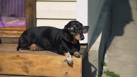 daksund : Dachshund Dog in Sunglasses is Sunbathing in Summer Time while Lying on the Steps. Leisure, Family and Holidays Concept Stok Video