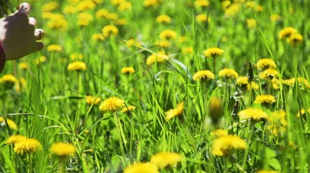 pampeliška : Close Up of Young Woman Collecting Yellow Dandelions on a Field in Summer Time. Harmony with Nature, Concept of Vacation, Summer Leisure, Ecology