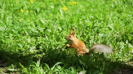 wiewiórka : Cute Red Squirrel Sitting on a Grass and Eating a Nut in a Parkin Sunny Spring Day. Slow Motion. Nature and Wildlife Concept
