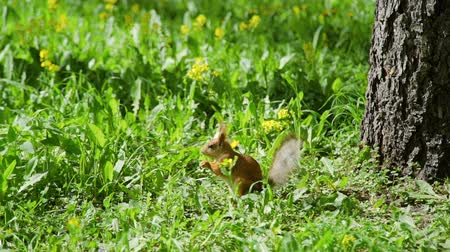 wiewiórka : Funny Eurasian Red Squirrel Closeup under a Tree Eating Some Plant in Sunny Spring Day. Nature and Wildlife Concept Wideo