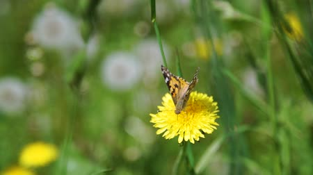 motyl : Close Up of Beautiful Butterfly Sitting on a Dandelion Flower in Shiny Summer Day. Harmony with Nature, Summer Time, Ecology