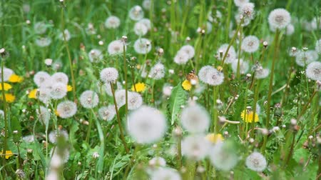луг : Beautiful Shot of Field of White Dandelions in Windy Summer Day. Harmony with Nature, Summer Time, Ecology