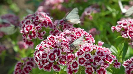 szegfű : Butterflies on Flowers in Summer Day are Searching for Nectar. Close Up. Turkish Carnation Blossoming in Summer. Dianthus Barbatus and Pieris Brassicae (Cabbage Butterfly). Nature and Ecology Concept