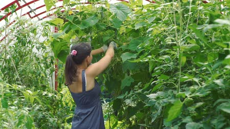ズッキーニ : Young Woman Harvesting Cucumbers in a Greenhouse. Female Farmer Working in a Vegetable Garden. Farming, Gardening, Agriculture and People Concept 動画素材