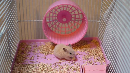 félénk : Cute Syrian Hamster Eating Peanut in a Cage. Rodent at Home. Pets and Animals Concept Stock mozgókép