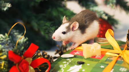 szczur : Close Up of Little Domestic Rat near Christmas Tree Sitting Near Christmas Tree and Decorations. The Symbol of the New Year 2020 in the Chinese Calendar. New Year and Christmas Concept