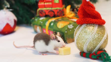 calendario cinese : Cute Little Domestic Rat Eating Piece of Cheese Near Christmas Tree and Decorations. Close Up. The Symbol of the New Year 2020 in the Chinese Calendar. New Year and Christmas Concept