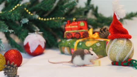 calendario cinese : Cute Baby Rat Eating Piece of Cheese Near Christmas Tree Decorations. The Symbol of the New Year 2020 in the Chinese Calendar. New Year and Christmas Concept Filmati Stock