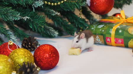 calendario cinese : Cute Baby Rat Eating Piece of Cheese while Garland Blinking on the Christmas Tree. The Symbol of the New Year 2020 in the Chinese Calendar. New Year and Christmas Concept