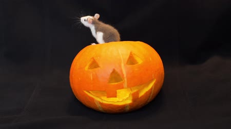 temas animais : Curious Little Rat Crawling on a Jack-o-Lantern, Carved Halloween Pumpkin. Holidays and Halloween Decorations Concept Vídeos