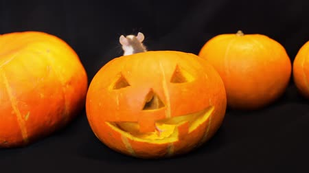 grão : Little Rat Sniffing Pumpkins Around It. Jack-o-lantern is in the Middle of the Screen, Carved Halloween Pumpkin. Halloween Holiday Concept