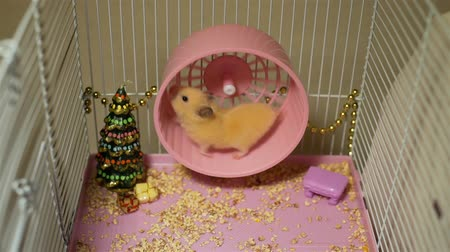 hamsterrad : Cute Syrian Hamster Running on Wheel in the Cage in Slow Motion. Toy Christmas Tree and Decorations are Around It. Working Hard on Holidays Videos