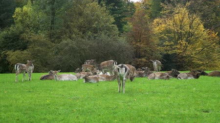 jikry : Lots of Roe Deers Resting on a Green Meadow near the Colorful Autumn Forest. Animals Life in Nature, Wildlife Concept