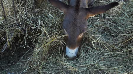 padok : Close Up Shot of Donkey Eating Hay from a Manger. Farming and Local Organic Production Concept