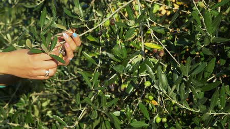 Close Up of Female Farmer Picking Ripe Olive from an Olive Tree at Sunset. Slow Motion. Agritourism, Ecotourism, Farming and Local Organic Production Concept Wideo