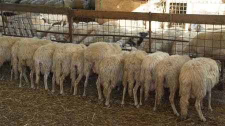 toszkána : Flock of Sheeps Eating Hay from a Manger. Sheep Farming for the Production of Milk and Cheese. Ecological Ranching and Livestock Farming Concept