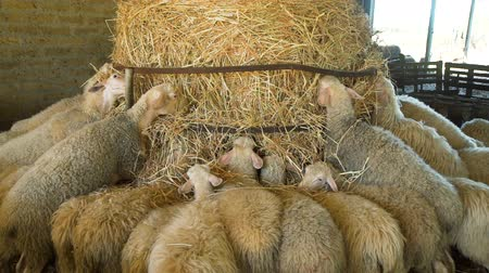 Flock of Sheeps Eating Hay on a Farm. Sheep Farming for the Production of Milk and Cheese. Ecological Ranching and Livestock Farming Concept