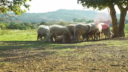 Flock of Sheeps Grazing in a Green Farm in Italy. Amazing Tuscan Landscape is on the Background. Agritourism, Ecotourism and Natural Organic Food Concept