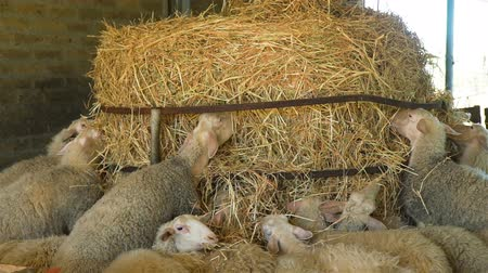 Close Up of Herd of Sheeps Eating Hay on a Farm. Sheep Farming for the Production of Milk and Cheese. Ecological Ranching and Livestock Farming Concept