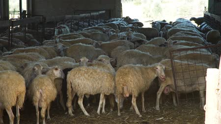 Sheep Farming for a Production of Milk, Cheese and Wool in Tuscany, Italy. Ecological Ranching and Livestock Farming Concept