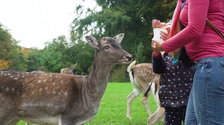 People Feeding Herd of Roe Deers in a Park. Slow Motion. Animals Life in Nature, Wildlife Concept Stockvideo
