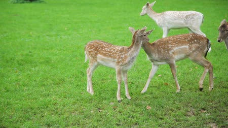 jikry : Cute Fawn Walking with Mom Deer in a Park. Herd of Deer Grazing on the Green Field. Slow Motion. Animals Life in Nature, Wildlife Concept