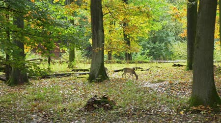 Herd of Roe Deers Walking in the Colorful Autumn Forest. Animals Life in Nature, Wildlife Concept 動画素材