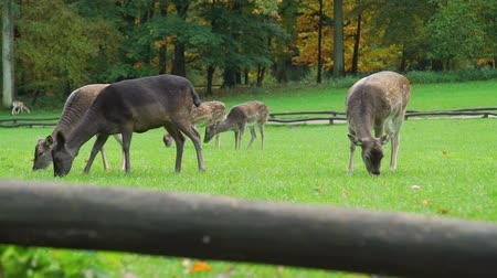 geyik : Herd of Roe Deers Grazing in an Autumn Park near the Forest. Harmony with Nature, Ecology and Wildlife Concept