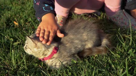 Little Girl Petting Gray Kitten with Pink Collar on the Grass at Sunset. Close Up Shot. Pets and Animals Concept 動画素材