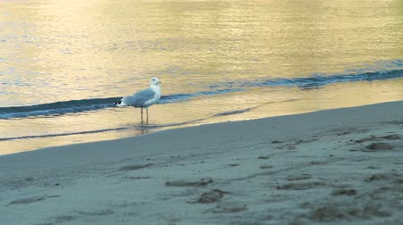 enviroment : Seagull Looking Around and Walking on a Sand Beach at Sunset. Concept of Holidays, Vacation and World Travel Stock Footage