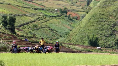 mianmar : Group of Mhong transplant on rice field in Mu Cang Chai , Vietnam