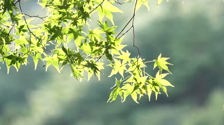 bambusz : Japanese green Maple tree sun flare