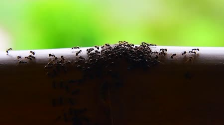 antennae : Slow motion video of ants, Thailand. Stock Footage