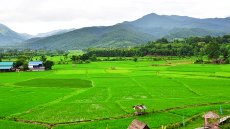 nan : 4K time lapse video of rice field at Phuket temple, Thailand.